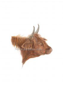 Schotse-Hooglander-2